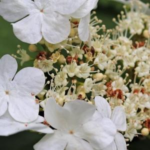 Photographie n°2305116 du taxon Viburnum opulus L. [1753]