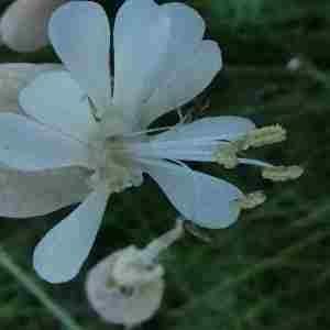Photographie n°2305120 du taxon Silene vulgaris (Moench) Garcke [1869]