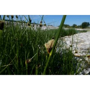 Bolboschoenus planiculmis (F.Schmidt) T.V.Egorova