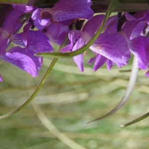 Photographie n°2305430 du taxon Dactylorhiza elata (Poir.) Soó [1962]