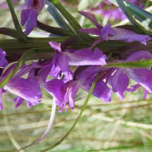 Photographie n°2305431 du taxon Dactylorhiza elata (Poir.) Soó [1962]