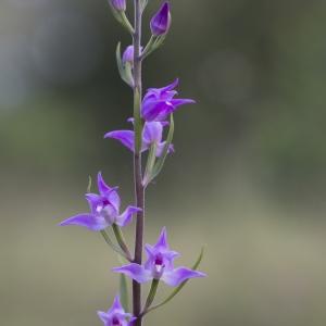 Photographie n°2305471 du taxon Cephalanthera rubra (L.) Rich. [1817]