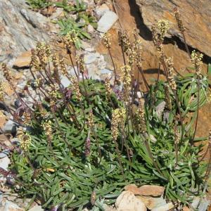 Photographie n°2305570 du taxon Plantago maritima subsp. maritima