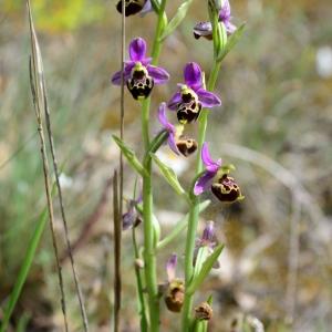 Photographie n°2305663 du taxon Ophrys fuciflora (F.W.Schmidt) Moench [1802]