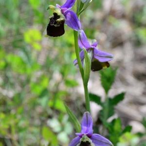 Photographie n°2305670 du taxon Ophrys fuciflora (F.W.Schmidt) Moench [1802]