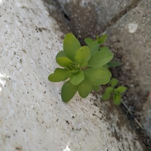 Photographie n°2305758 du taxon Euphorbia peplus L. [1753]