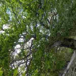 Photographie n°2305878 du taxon Fagus sylvatica L.