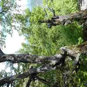 Photographie n°2305880 du taxon Fagus sylvatica L.