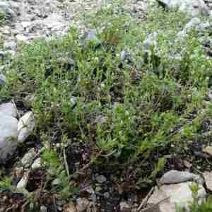 Photographie n°2305902 du taxon Arenaria serpyllifolia L. [1753]
