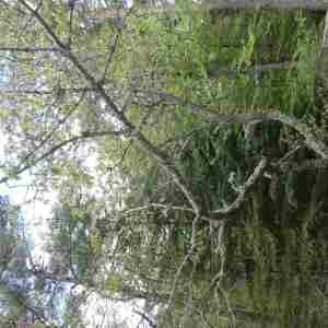 Photographie n°2305934 du taxon Prunus avium (L.) L. [1755]