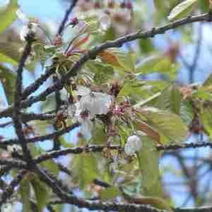 Photographie n°2305935 du taxon Prunus avium (L.) L. [1755]