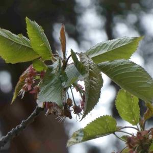Photographie n°2305936 du taxon Prunus avium (L.) L. [1755]