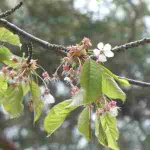 Photographie n°2305938 du taxon Prunus avium (L.) L. [1755]