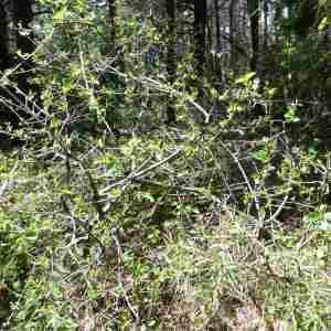 Photographie n°2305989 du taxon Prunus mahaleb L.