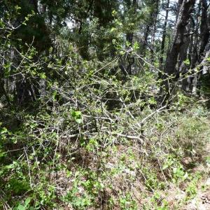 Photographie n°2305993 du taxon Prunus mahaleb L.