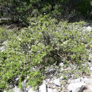 Photographie n°2306000 du taxon Prunus mahaleb L.