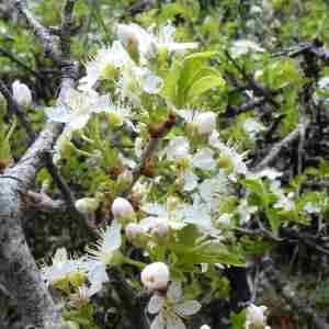 Photographie n°2306001 du taxon Prunus mahaleb L.