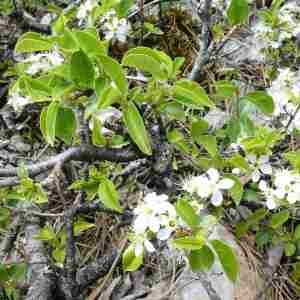 Photographie n°2306002 du taxon Prunus mahaleb L.
