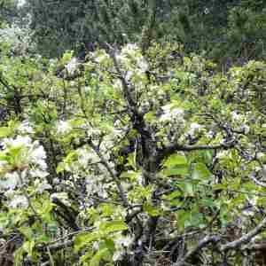Photographie n°2306003 du taxon Prunus mahaleb L.