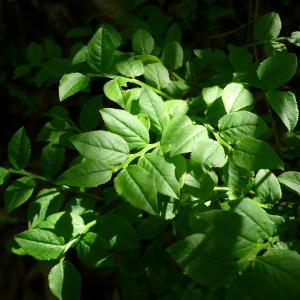 Photographie n°2306027 du taxon Vaccinium myrtillus L.
