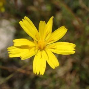 Photographie n°2306311 du taxon Leontodon saxatilis Lam. [1779]