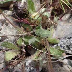Photographie n°2306313 du taxon Leontodon saxatilis Lam. [1779]