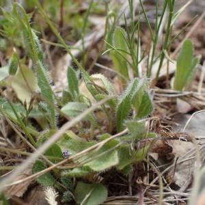 Photographie n°2306314 du taxon Leontodon saxatilis Lam. [1779]
