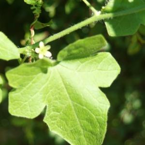 Photographie n°2306343 du taxon Bryonia dioica Jacq. [1774]
