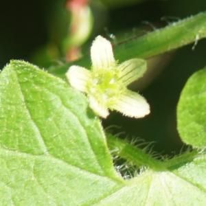 Photographie n°2306344 du taxon Bryonia dioica Jacq. [1774]