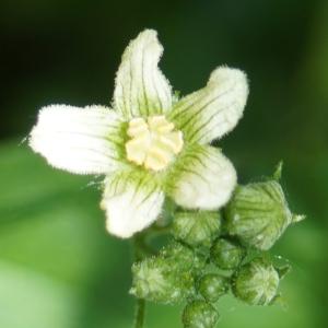 Photographie n°2306346 du taxon Bryonia dioica Jacq. [1774]