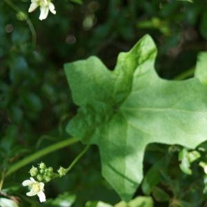Photographie n°2306348 du taxon Bryonia dioica Jacq. [1774]
