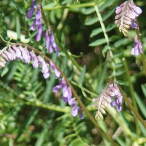 Photographie n°2306511 du taxon Vicia cracca L. [1753]