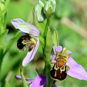 Photographie n°2306613 du taxon Ophrys apifera Huds. [1762]
