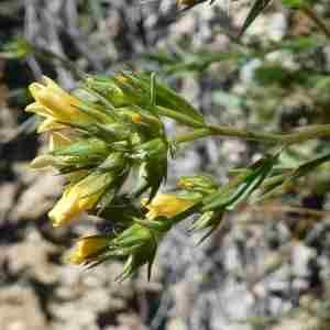 Photographie n°2306617 du taxon Linum strictum L.