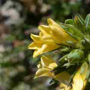 Photographie n°2306618 du taxon Linum strictum L.