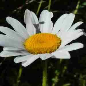 Photographie n°2306631 du taxon Leucanthemum vulgare Lam. [1779]