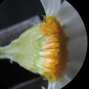 Photographie n°2306925 du taxon Anthemis arvensis L. [1753]
