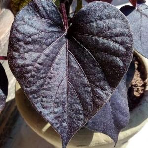 Photographie n°2306942 du taxon Ipomoea batatas (L.) Lam. [1792]