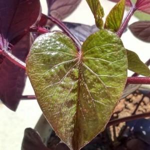 Photographie n°2306943 du taxon Ipomoea batatas (L.) Lam. [1792]