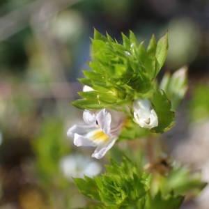 Photographie n°2306989 du taxon Euphrasia pectinata Ten. [1815]