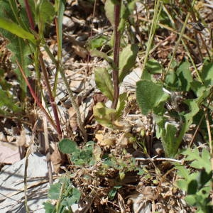 Photographie n°2307117 du taxon Legousia speculum-veneris (L.) Chaix