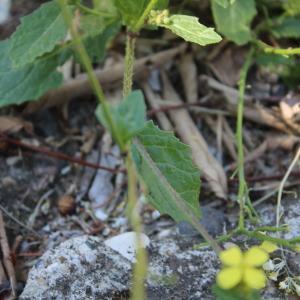 Photographie n°2307122 du taxon Sinapis arvensis L. [1753]