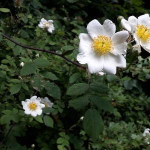 Photographie n°2307125 du taxon Rosa arvensis Huds. [1762]