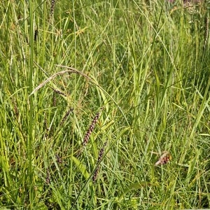 Photographie n°2307213 du taxon Carex flacca Schreb. [1771]