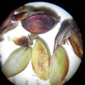 Photographie n°2307215 du taxon Carex flacca Schreb. [1771]