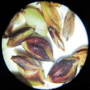 Photographie n°2307216 du taxon Carex flacca Schreb. [1771]