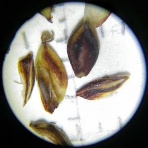 Photographie n°2307217 du taxon Carex flacca Schreb. [1771]