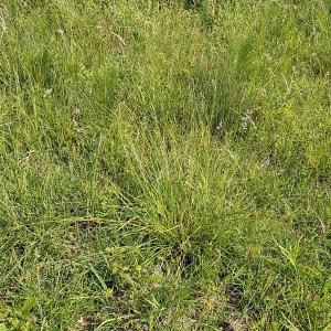 Photographie n°2307219 du taxon Carex binervis Sm.