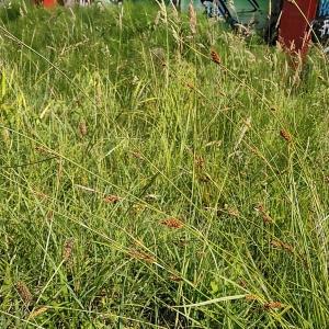 Photographie n°2307222 du taxon Carex binervis Sm.