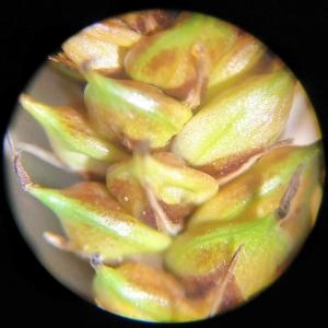 Photographie n°2307225 du taxon Carex binervis Sm.